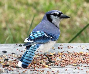 animal, bird, and bluejay image