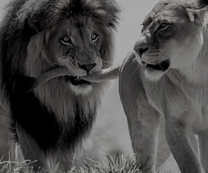 africa, lion, and cute image