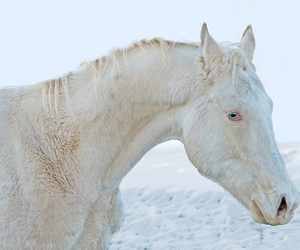 horse, blue eyes, and white image