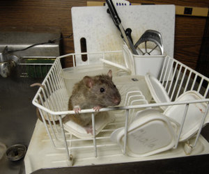 rats, dish, and rat image