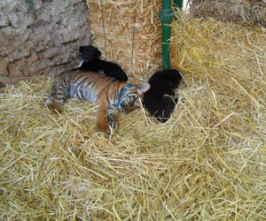 argentina, baby tiger, and lovely image