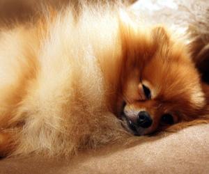 dog and pomeranian image