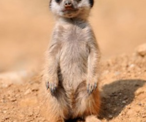 baby, animal, and meerkat image