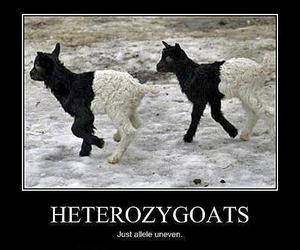 goats, lol, and heterozygous image