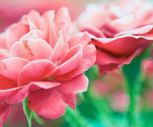 bokeh, pink, and pink roses image