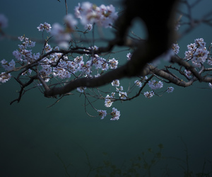 beauty, branch, and cherry blossoms image