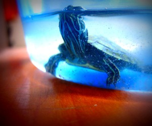 blue, turtle, and underwater image