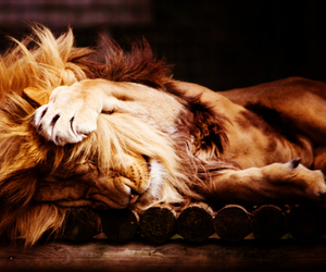 lion, animal, and sleep image
