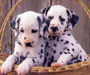 dalmatian, dog, and puppy image