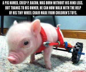 adorable, animal, and bacon image