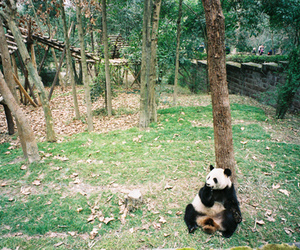 vintage, animal, and panda image