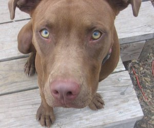 dog and american pitbull terrier image
