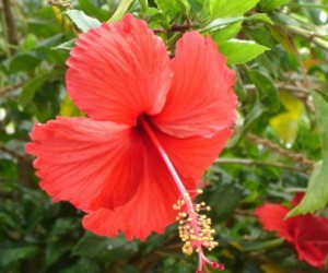 flower and hibiscus image