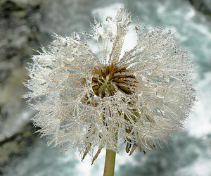 dandelion clock, flowers, and frost image