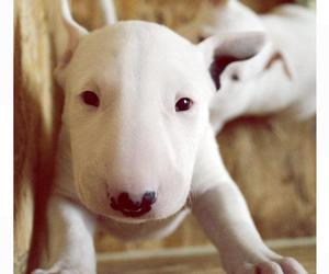 bull terrier, perros, and lindo image