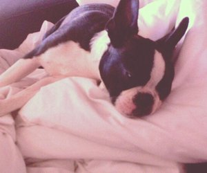 boston terrier, dogs, and sleeping image