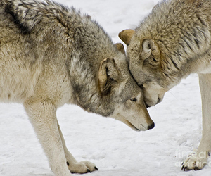 kindred, nature, and wolves image