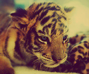 blue eyes, tiger, and tigers image