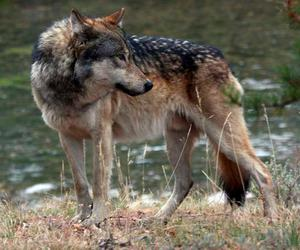 animals, wildlife, and wolves image