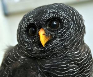 owl, black owl, and coruja preta image