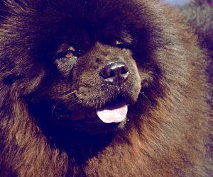 chow chow, dog, and chowchow image