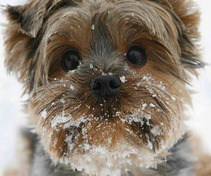 dog, puppy, and yorkshire terrier image