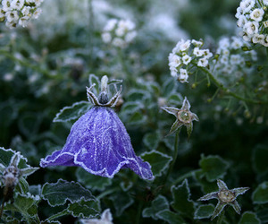 flower and frost image