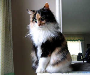 cat, cutie, and maine coon image