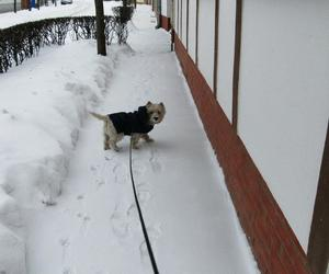 dog, westie, and snow image