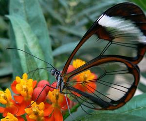 butterfly, nature, and glass wing image