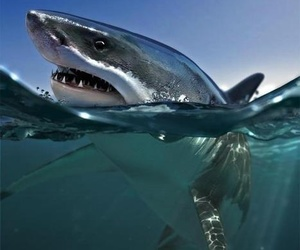 shark and ocean image