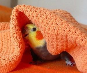 bird, cute, and cockatiel image