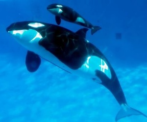 orca, baby, and killer whale image