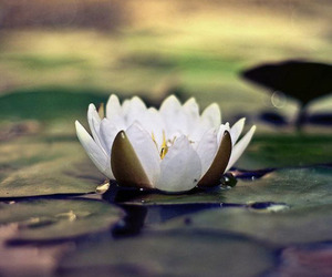 flower, lotus, and water image
