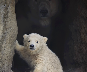 bear, animal, and Polar Bear image