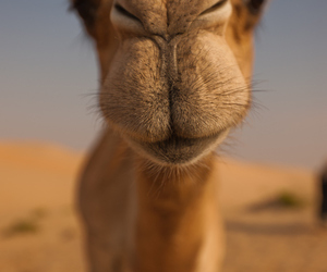 kiss, camel, and cute image