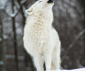 wolf, animals, and snow image