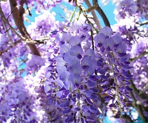 flowers, nature, and wisteria bloom image