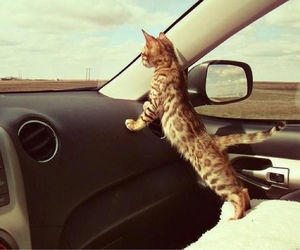 cat, car, and animal image