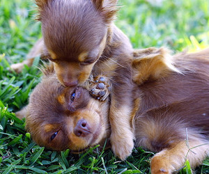 chihuahua, puppy, and super cute image
