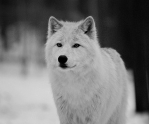 white, cute, and wolf image
