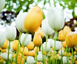 tulips, white, and flowers image