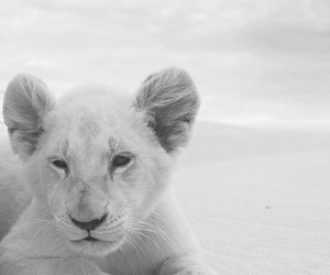 adorable, amazing, and lion image