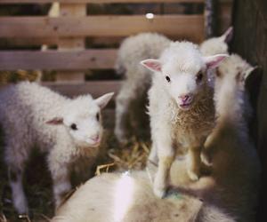 cute, lamb, and sheep image