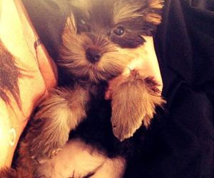 chilli, cucciolo, and yorkshire terrier baby image