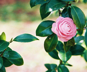 camellia, film, and flower image