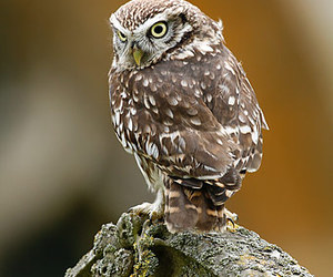 owl and little owl image