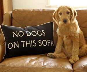 dog, cute, and sofa image