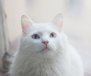 cat, white, and cute image