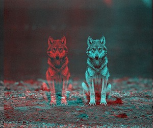 wolf, red, and blue image
